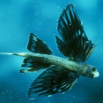 flying-fish_526_600x450